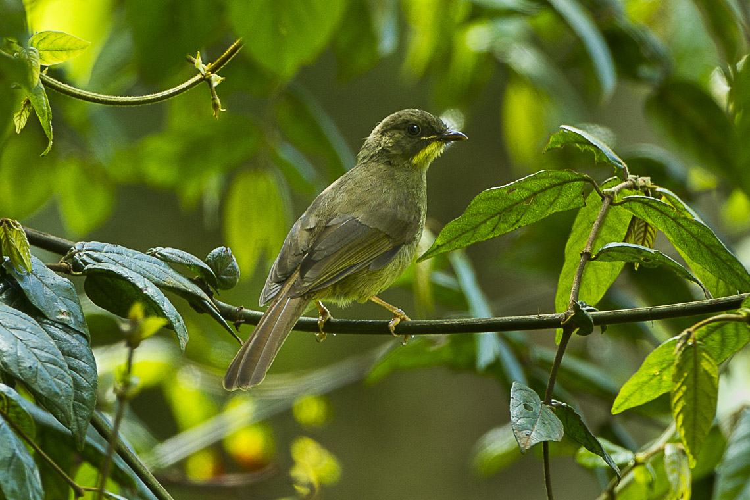 Yellow-whiskered_Greenbul_-_Kenya_S4E7530_(17026005516)