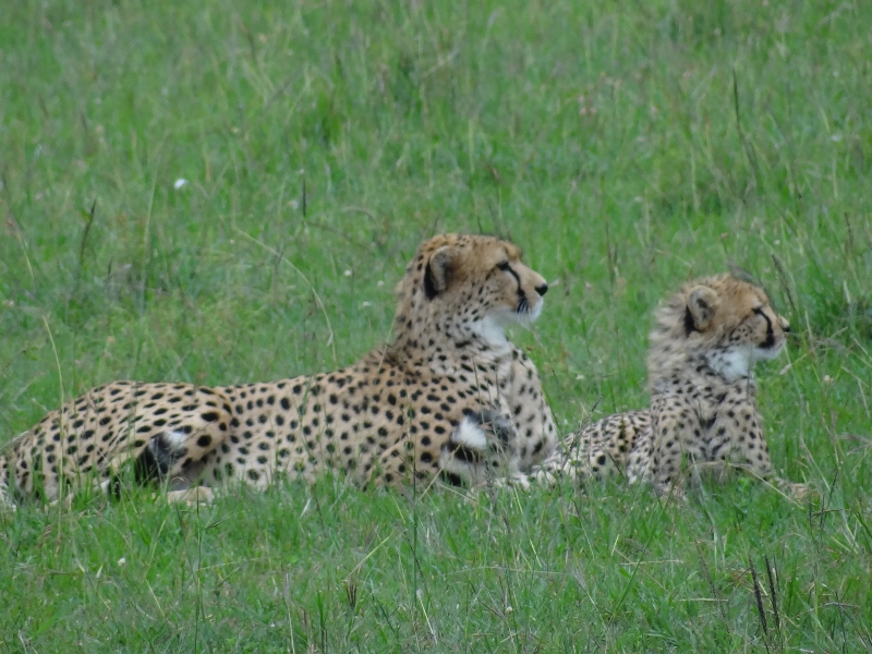 Cheetah n cub Mara Feb2014 (1) (800x600)