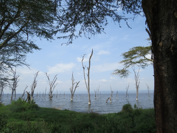 Drwoned trees in Lake Nakuru National Park. Copyright Rupi Mangat (800x600)