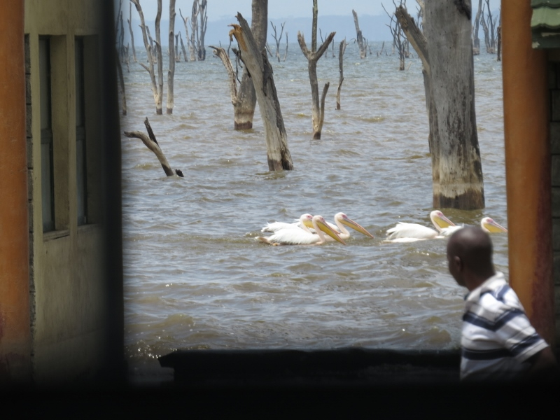 Great white pelicans swiming around the flooded ofices in Lake Nakuru National Park. Copyright Rupi Mangat (800x600)