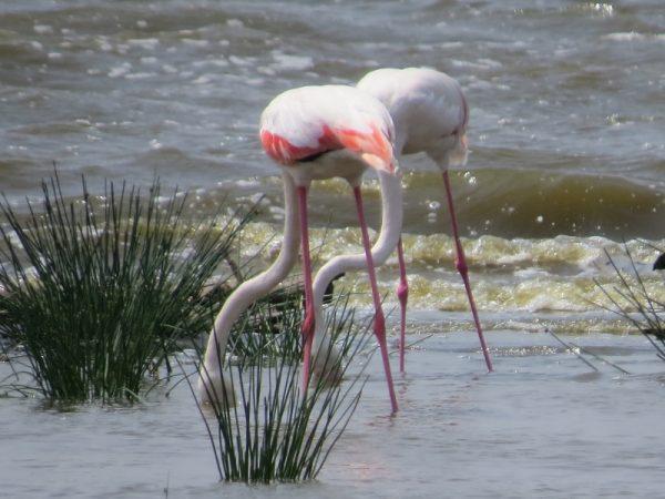 Greater flamingos feeding in Lake Nakuru National Park. Copyright Rupi Mangat (800x600)