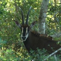 Sable antelope only found in Shimba Hills National Reserve. Credit Shimba Lodge