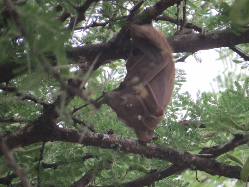 Wahlberg's Epauletted Fruit Bat in slumber on the dry plains of Lukenya. Copyright Rupi Mangat one time use only (800x600)