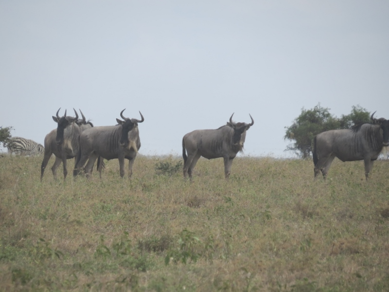Wildebeest on Lisa Ranch.Copyright Rupi Mangat (800x600)