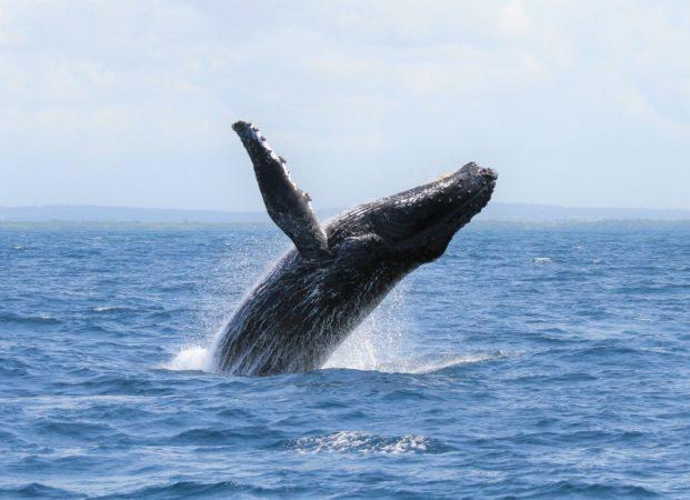 Humpback whale along Indian Ocean coastline. Copyright Chloe Corn with Watamu Marine Association (800x580)