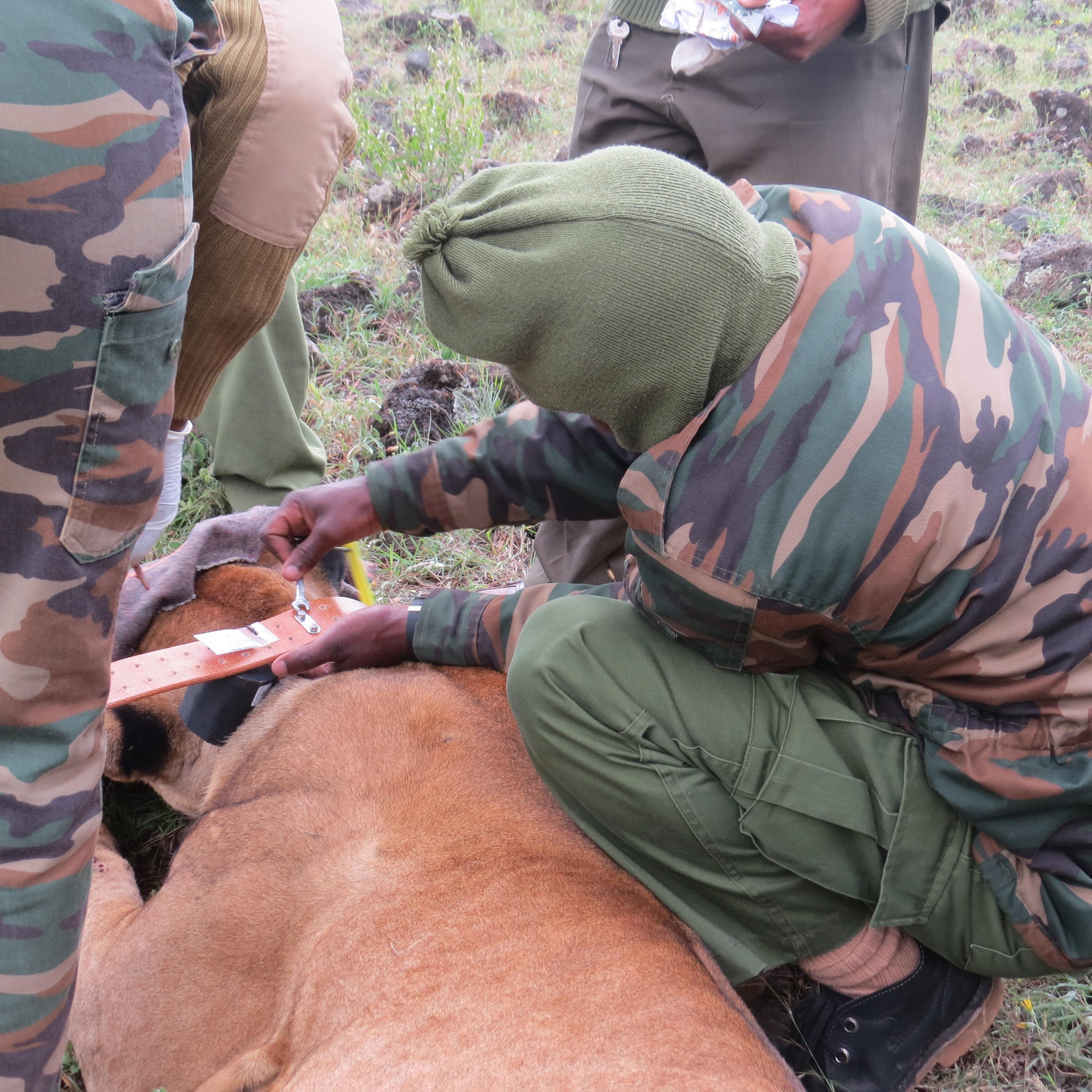 Lion collared oin Soysambu Conservancy,. By Rupi Mangat