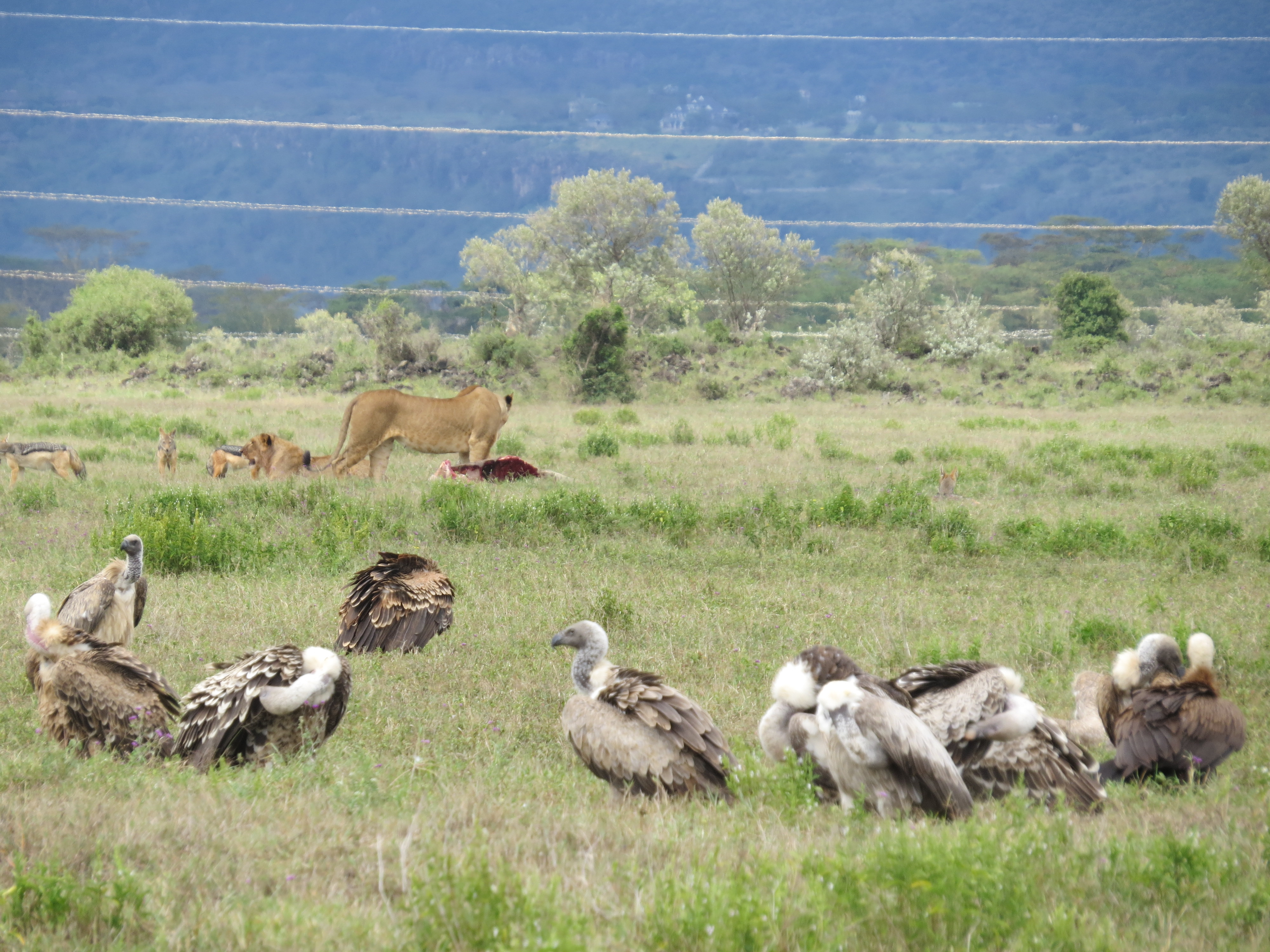 Lion defending prey from Silver-backed jackals and Ruppell's vultures listed Critically endangered on IUCN Red List in Soysambu with newly installed pylon and transmisson line. By Rupi Mangat