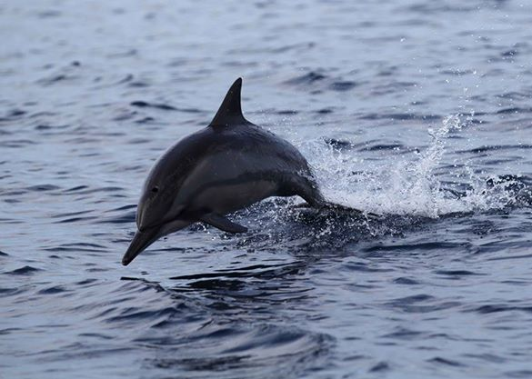 Spinner Dolphin on the Tanzania Indian Ocean. Copyright Gill Braulick (585x417)