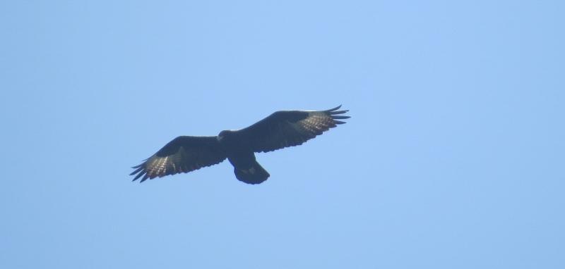 the-verreaus-eagle-above-lukenya-.-its-alos-called-the-black-eagle-copyright-rupi-mangat-one-time-use-only-800x800.jpg