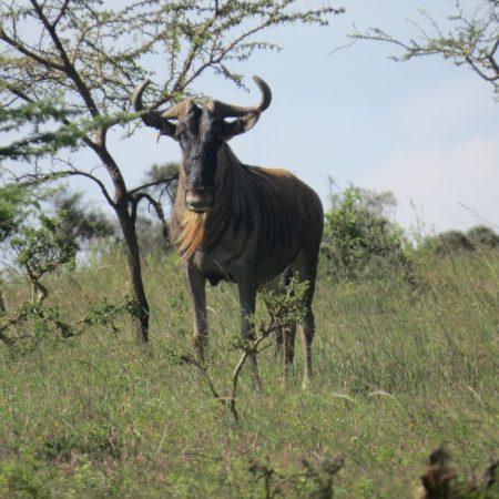 The wildebeest on Lukenyaturned to face us. Copyright Rupi Mangat one time use only (800x800)