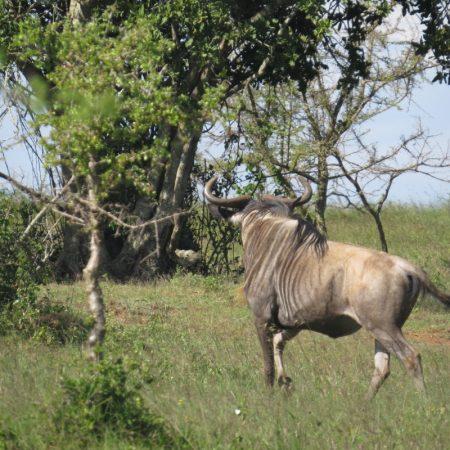 The wildebest on Lukenya turning to .r. Copyright Rupi Mangat one time use only (800x800)