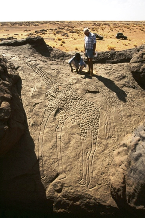A 6,000 year life size engraving of giraffes in Niger. Copyright David Coulson of Trust for African Rock Art TARA (484x726)