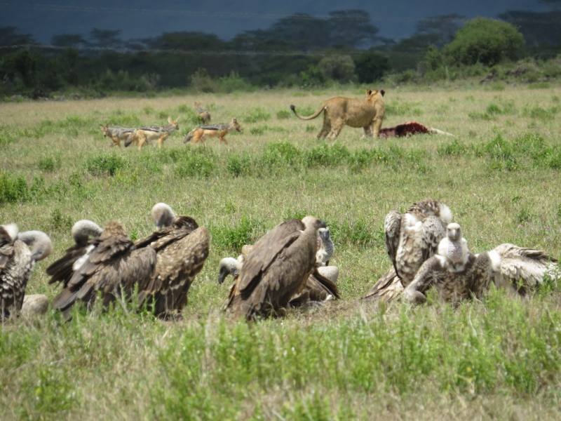 Lion feding on cow calf by Jolai Hill oin Soysambu Conservancy in company of Silver-back jackals and vultures,. By Rupi Mangat (800x600)