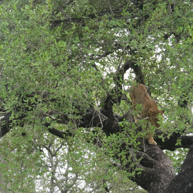 Lioness in tre to escape the tsetse flies in Nyerere National Park former Selous Tanzania. Copyright Rupi Mangat (800x800)