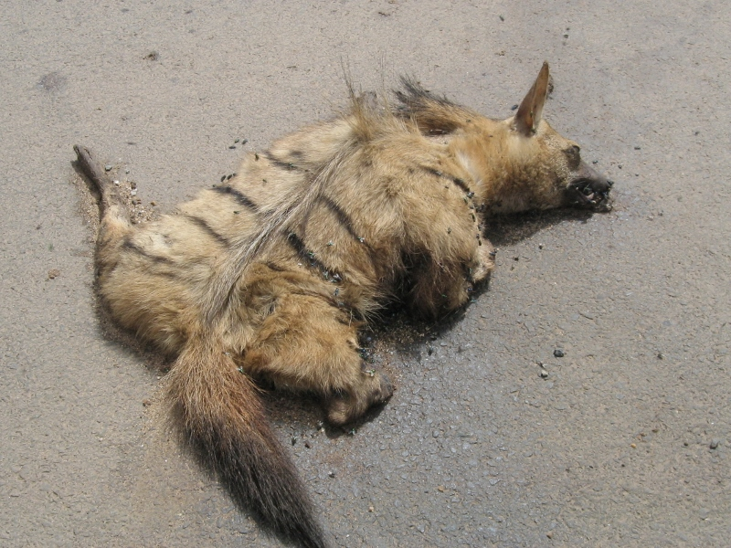 Rare aardwolf- this photo from 2010 by ACK field officers recorded during patrol along Nairobi-Mombasa highway. Courtesy Mary Wykstra (800x600)
