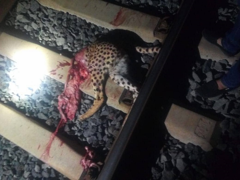 The severed cheetah along the SGR is a photo taken from a social media post and forwarded to ACK's Director- the source was unknown. 2 (800x600)