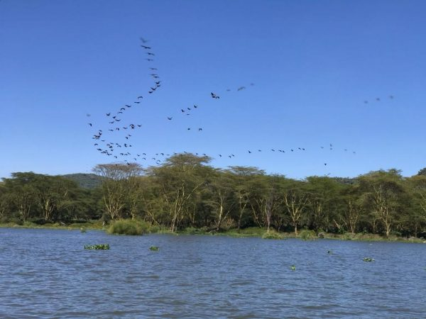 Lake Naivasha flock of cormorants flying over. Copyright Rupi Mangat (800x600)