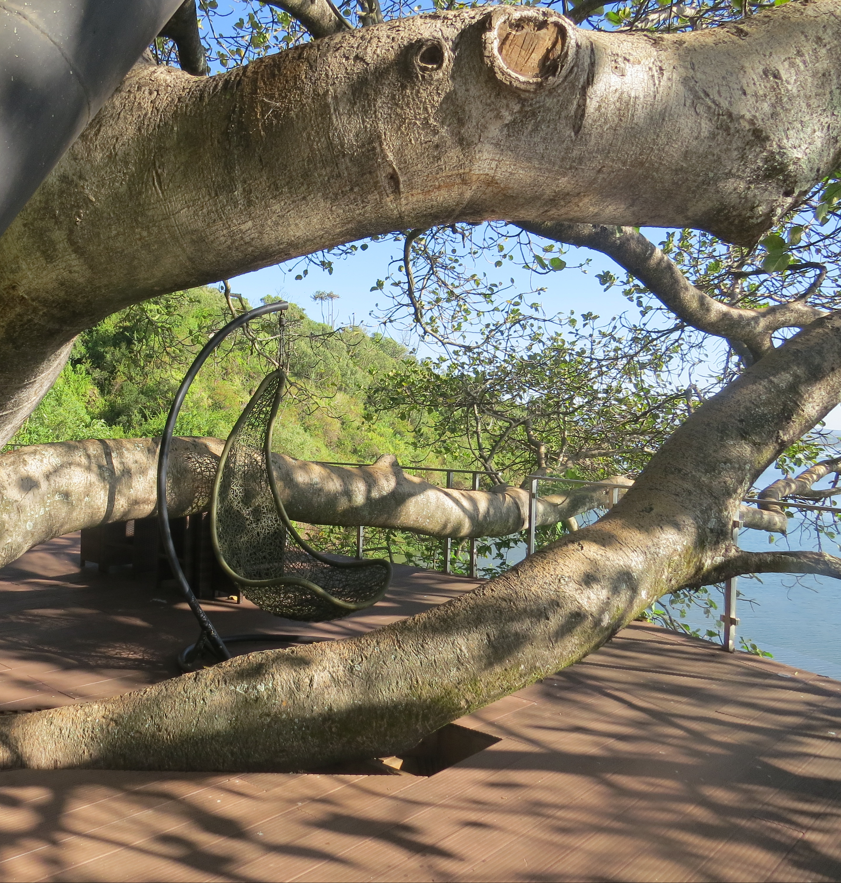 Thick branch of Ficus wakefieldii at Ecoscapes on Lake Naivasha. Copyright Rupi Mangat