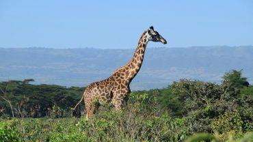 Maasai giraffe at Ecoscapes Conservancy Lake Naivasha