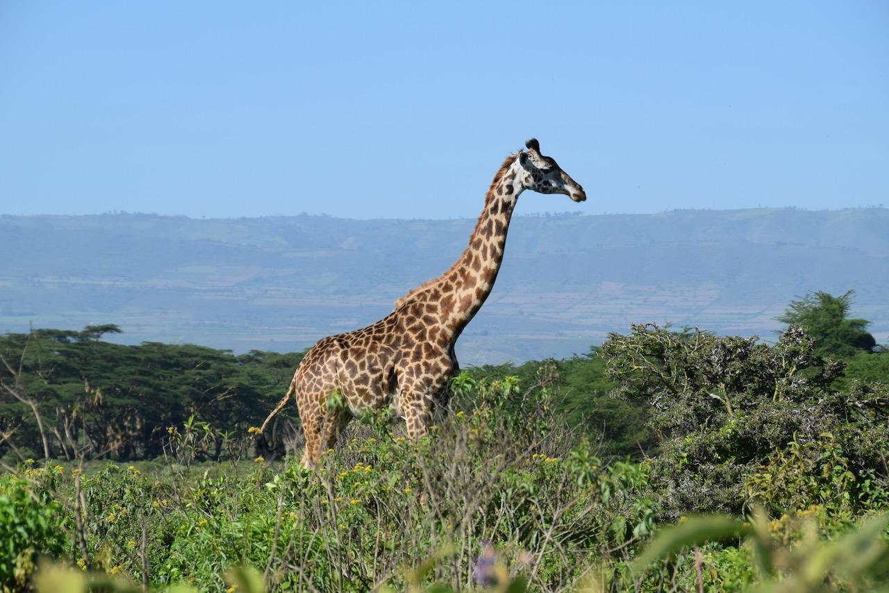 Maasai giraffe at Ecoscapes Conservancy Lake Naivasha
