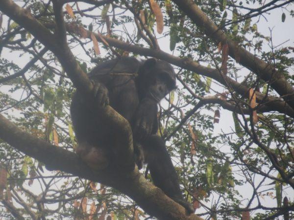 Chimpanzee early morning on tree in Kinyara Sugar plantation 40 kms from Masindi copyright Rupi Mangat (800x600)